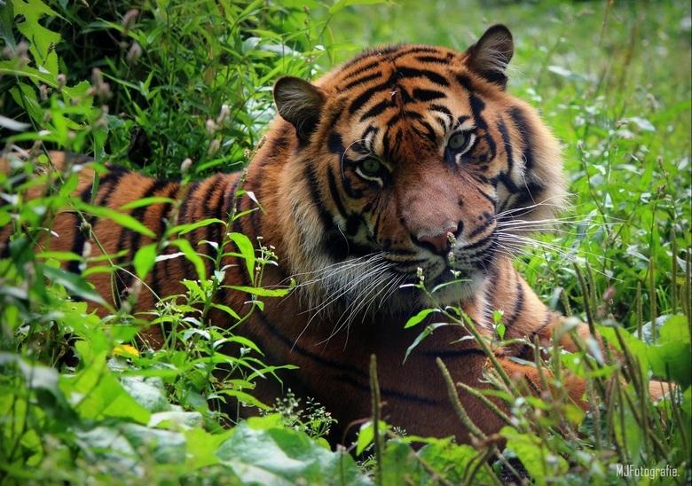 Tijger - Deze mooie tijger heb ik gespot in Diergaarde Blijdorp Rotterdam.