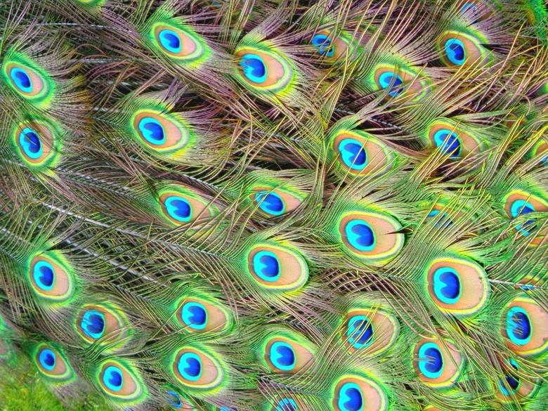 Pauw veren - Pauwveren