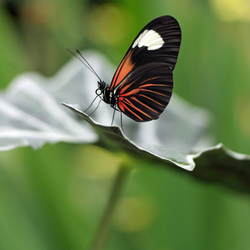 Laparus doris viridis