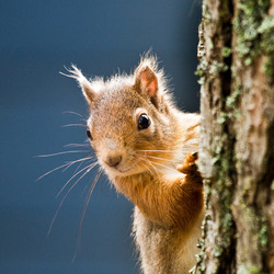 Altijd nieuwsgierige eekhoorn