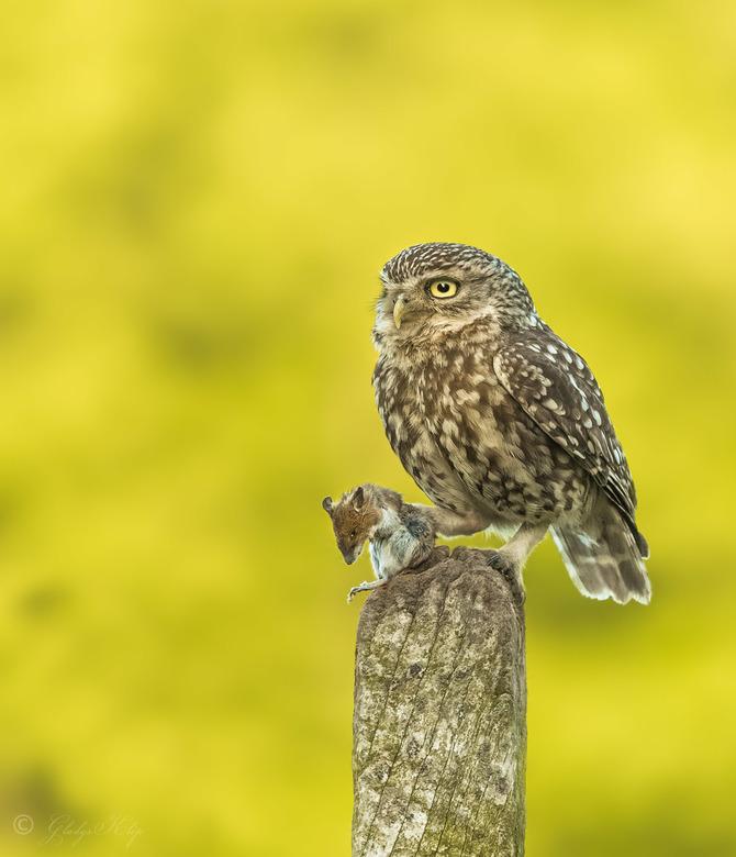 My trophy - Deze steenuil kwam even zitten met zijn prooi voordat hij doorvloog naar het nest. <br /> <br /> 420mm 1/640 f/7.1 iso 1600