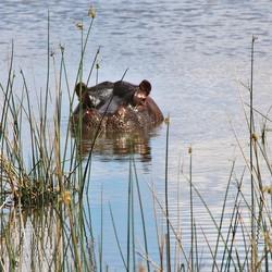 nijlpaard in Zuid Afrika