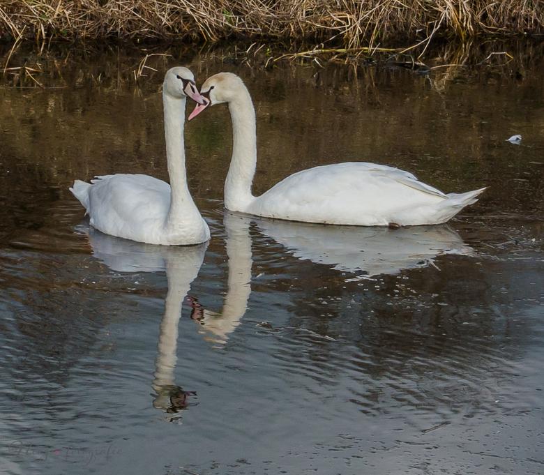 Eeuwige liefde - Mooi zwanen koppel.<br /> <br /> Kijk voor meer foto&#039;s op mijn website<br /> http://nics-fotografie.nl<br />