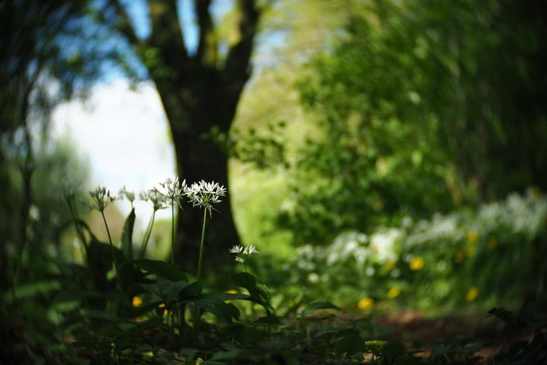 Daslook - fotowedstrijd puur natuur inzending 1 - Inzending voor de fotowedstrijd puur natuur. Een serie foto's van daslook dat in het voorjaar in het
