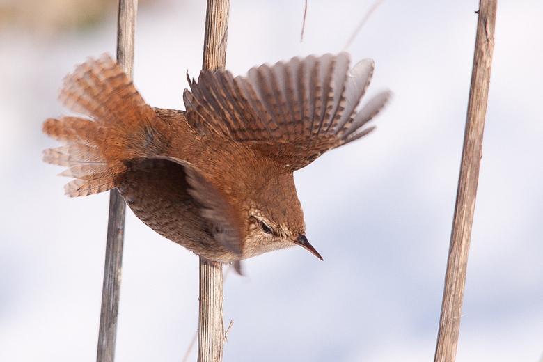 winterkoning - hier slaat de winterkoning net zijn vleugels uit prachtig om te zien