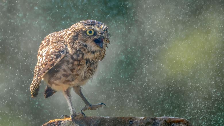Walking in the rain. - Dit holenuiltje zocht de verkoeling onder de sproeier en genoot er zo te zien erg van.<br /> <br /> Bedankt voor de leuke en