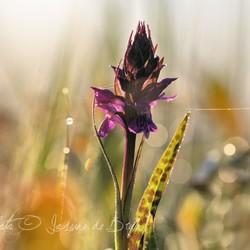 Wilde orchidee in de vroege ochtend
