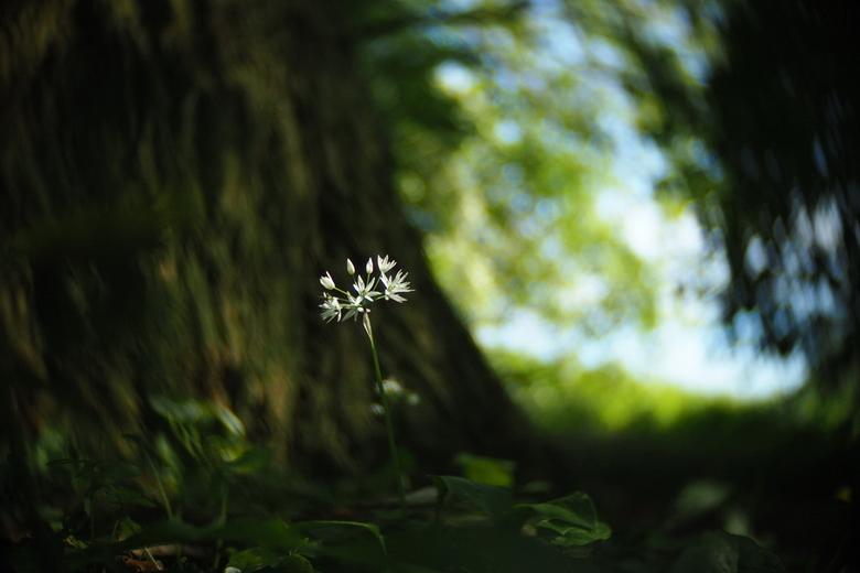 Daslook - fotowedstrijd puur natuur inzending 2 - Inzending voor de fotowedstrijd puur natuur. Een serie foto's van daslook dat in het voorjaar in het