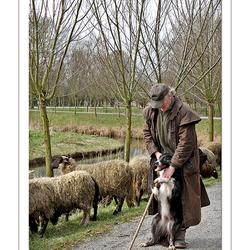 Schapen en herder