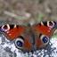 De dagpauwoog (Aglais io)