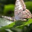 Veldvlekvlinder