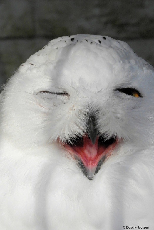 The Winking Owl -