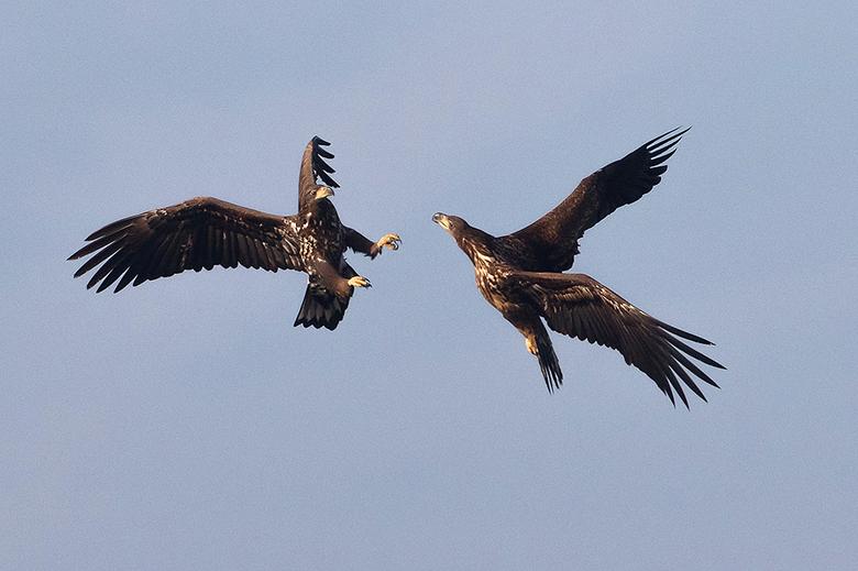 The Battle! - Deze 2 jonge Zeearenden waren met elkaar ah stoeien, wat een gaaf gezicht was dat en dat in mijn eigen provincie Overijssel.<br /> <br