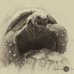 paring der schildpadden