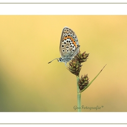 Little Summer blue*