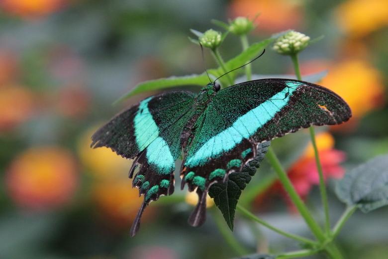Papilio palinurus -
