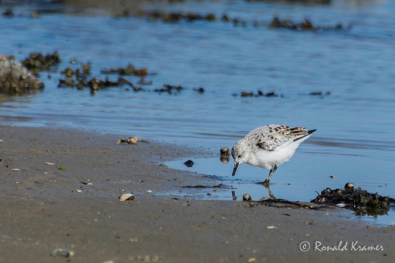 Strandloper - Nog niet eerder de kans gehad om dit kleine vogeltje van zo dichtbij te mogen meemaken. Een strandloper op voedseljacht. Welk soort stra