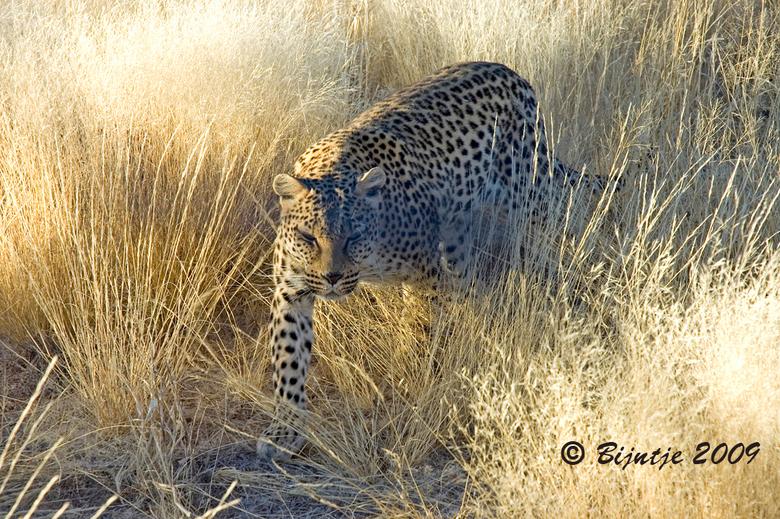 Luipaard - Dit luipaard gefotografeerd in een opvangcentrum voor cheeta's en luipaarden. Op deze foto is goed de schutkleur van het luipaard te z