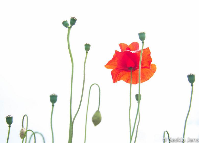 Papaver, geliefd onkruid - Tussen een veld met kamille en korenbloemen steekt de rode bloem er tussen uit.