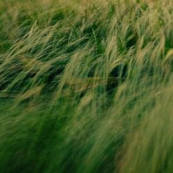 Long waving grass