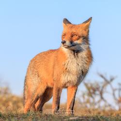 Red Fox (Diesel)