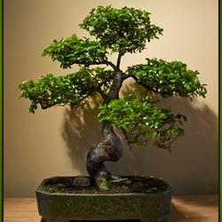Bonsai 6 met blad