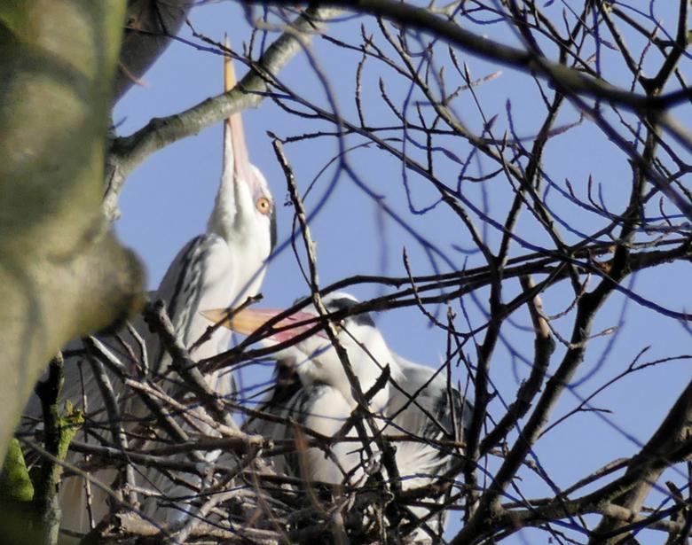 """P1180979_001samen op het nest - Op landgoed Marquette is de lente aangebroken. Flik ingezoomd met de optie """"vogels volgen"""" en mijn wandelsto"""