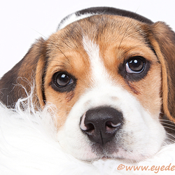 Beagle - Gigi II
