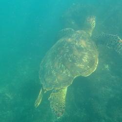 Zeeschildpad Galapagos