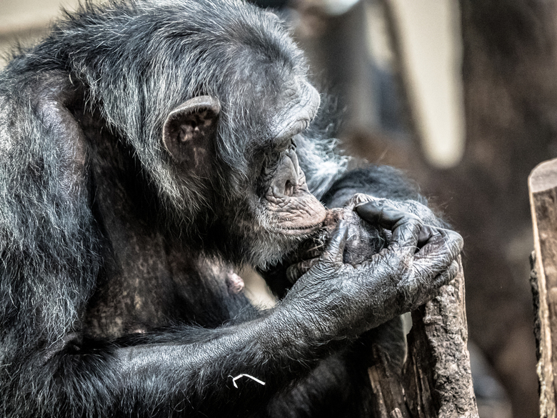 chimpansee in brurgers zoo
