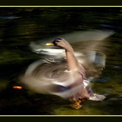 Dansende eend