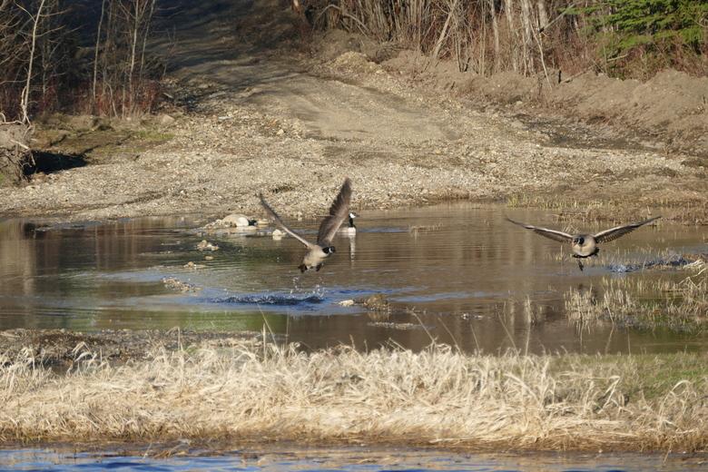 Take Off - Natuurlijk moet je in Canada de ganzen fotograferen. Zo ook in het Rotery Park te Charlie Lake