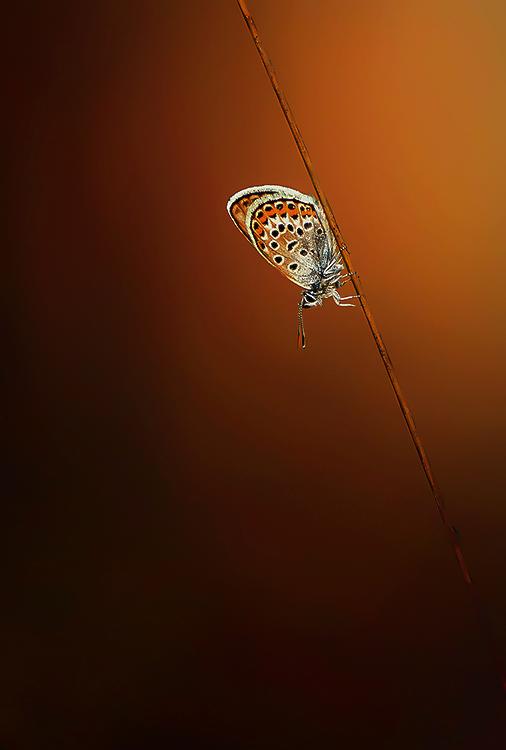 Heideblauwtje.. - S'ochtends fotograferen is zo mooi.. Prachtig licht, vlinders blijven zitten, het is rustig, zo kan ik nog wel even doorgaan...