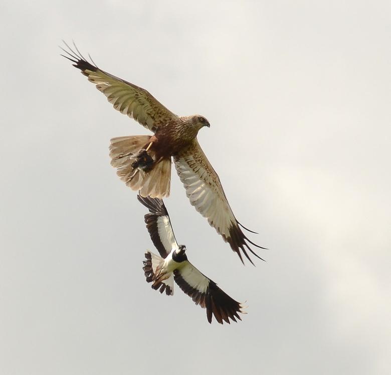 Bruine Kiekendief - Hier doet de kiekendief zijn naam eer aan .<br /> Echte killers zijn het . Ze bidden geruisloos boven het riet om vervolgens toe