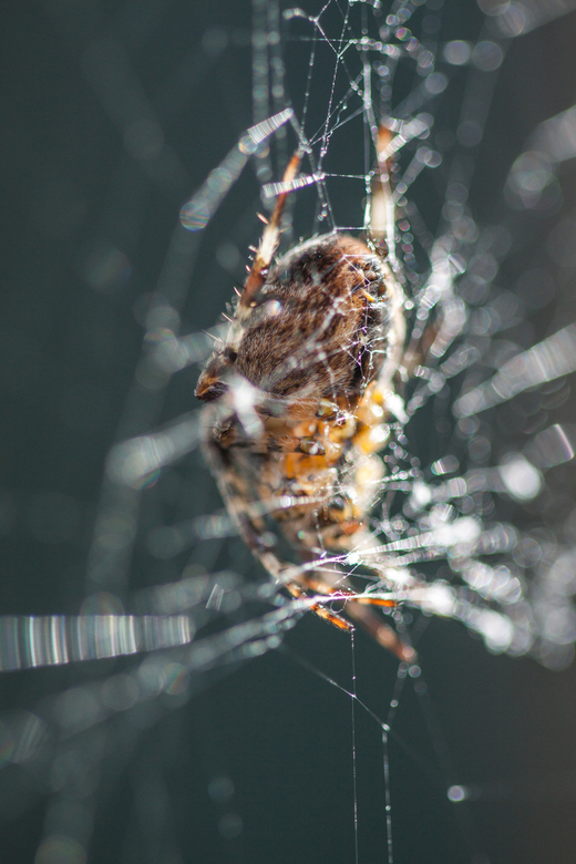 achter het web - ik vond deze wel mooi vanwege de draden van zijn eigen web die voor zijn lijf lopen