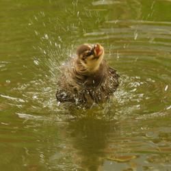 woest wassende eend