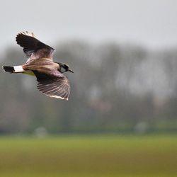 kievit in vogelvlucht