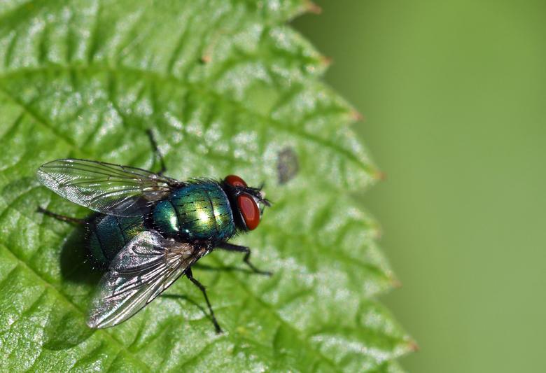 csi - De groene keizersvlieg leeft van nectar en stuifmeel. Het is een veel voorkomende soort. De larven leven van aas en in open (zwerende) wonden.<b