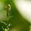 Rups van helmkruidvlinder