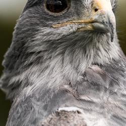 The black-chested buzzard-eagle