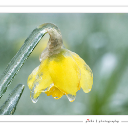 Iced Narcis