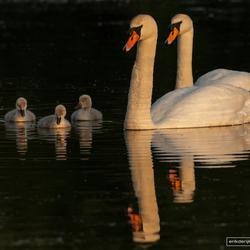 Familie zwaan