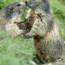 (wilde) Zwitserse bergmarmotjes betrapt op knuffelen
