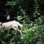 Een wolf voor de lens in Duitsland.