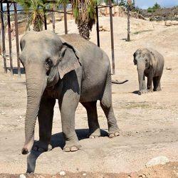 Aziatische olifant, Terra Natura, Benidorm, Spanje