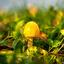 Gele paddo in een waterig zonnetje