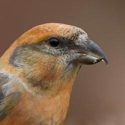 Very close to the Common Crossbill