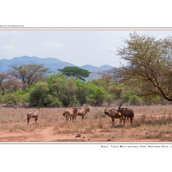 Northern Oryx Gazella, Kenia