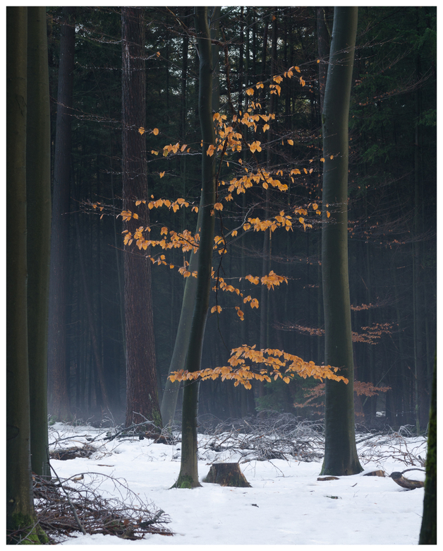 Laatste beetje kleur in het bos - Vorige week lag er op de Veluwe nog een klein laagje sneeuw. Dus tas op de rug, wandelschoenen aan en naar buiten. H