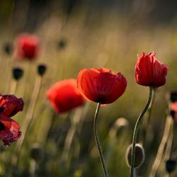 Poppy's Golden hour